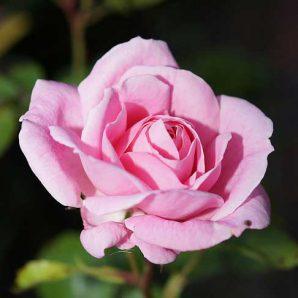 Rose-Peq